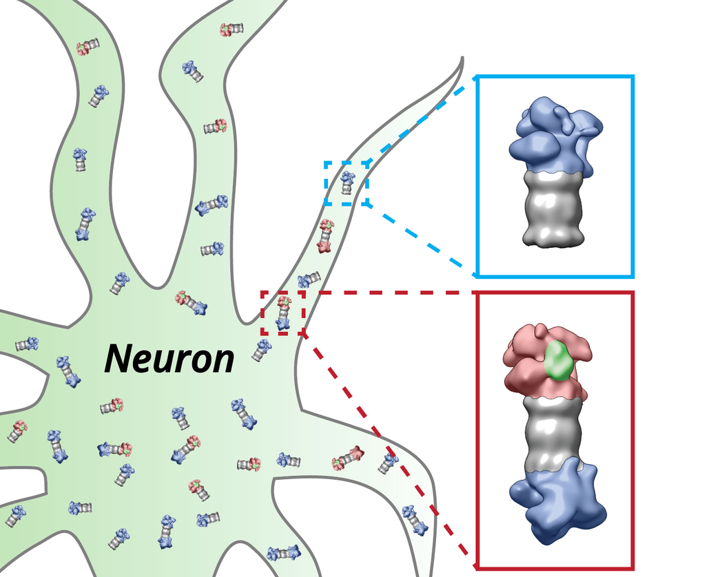 Protein degradation by the proteasome in neurons. The proteasomes (grey) of the nerve cell (neuron) are equipped with the regulatory particles at their ends. These structures change their shape depending on whether they have bound (red) proteins which have to be degraded (green) or not (blue).