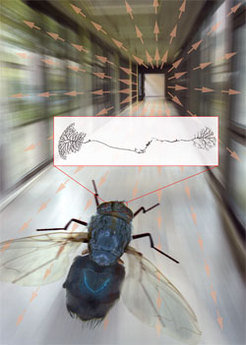 "A fly, flying along a corridor, produces through its movement a constant shift of the pictures of the environment on its eyes (illustrated with arrows). This ""vector field"" must be analysed on a higher level of the visual centre, called the Lobula plate, so as to control and correct the flight course. Turns are controlled by the direct connection of two nerve, the HSE cell (right) and the H2-Zelle (left)."