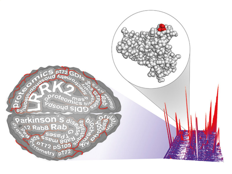 <p>Parkinson's researchers used proteomics to identify Rab proteins as a physiological substrate of LRRK2, a Parkinson's drug target. This finding may accelerate current research and open a novel therapeutic avenue.</p>