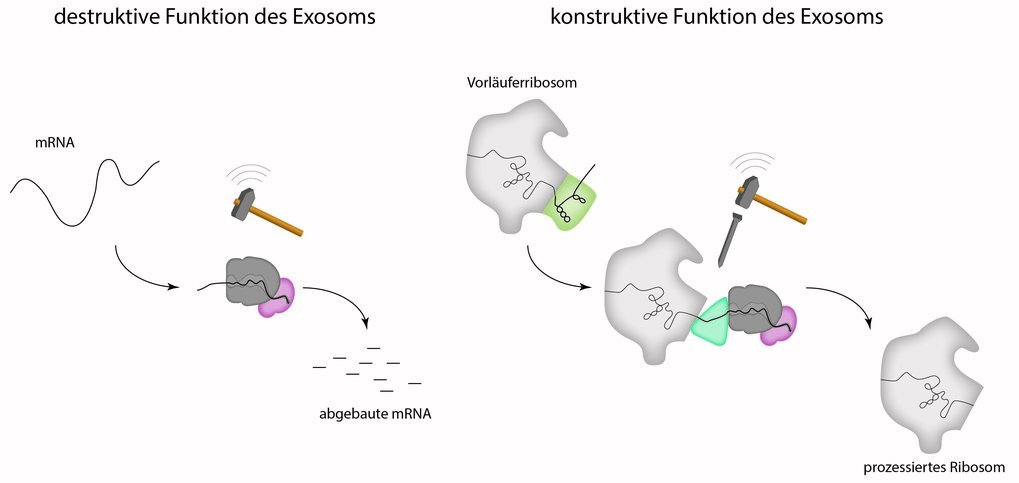 <p>The exosome is a barrel-shaped molecular machinery through which the mRNA is threaded before it is completely degraded at the bottom by a nuclease. In addition to the degradation of RNA, the exosome also has a function in the production process of the ribosomes. The exosome deliberately degrades a part of the precursor ribosome.</p>