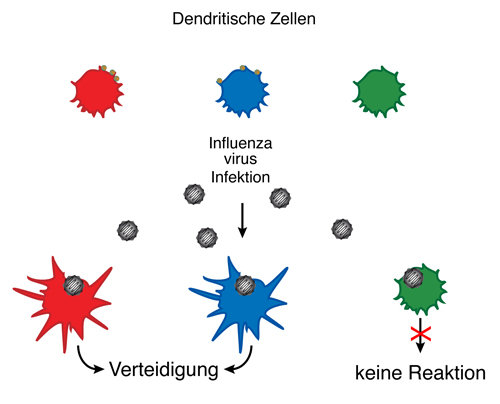 Equipment matters - Max Planck Scientists Can Predict which Immune Cells Identify Invaders